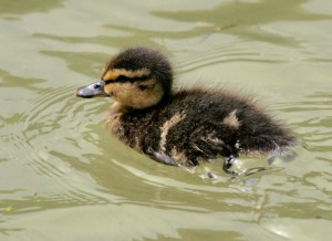 A duckling paddling in the River Itchen in Hampshire