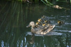 Duck and ducklings on the River Itchen in Hampshire