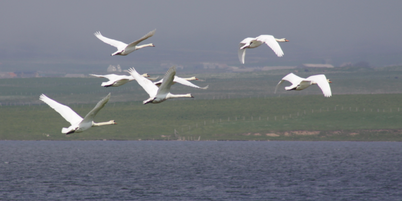 Swans in flight at the Loch of Stenness