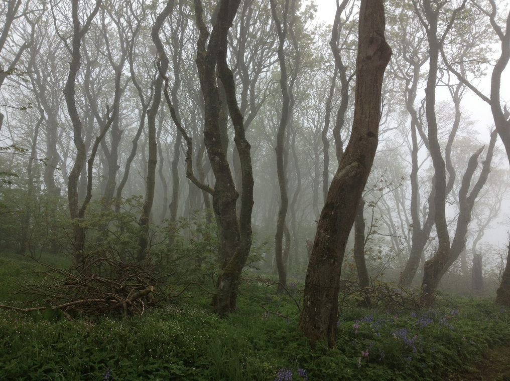 The woods at Berstane in fog