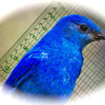 Small blue bird and measure